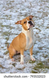 The cute American staffordshire terrier on snow