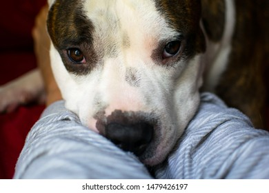 Cute  american stuffer terrier looks at the camera at the owner
