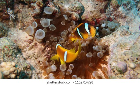 Cute Anemone or Clown fishes hiding protected by their Anemone