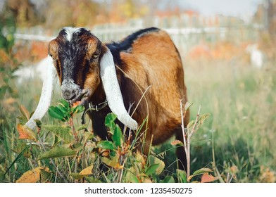 Cute Anglo-Nubian goat with long white ears.