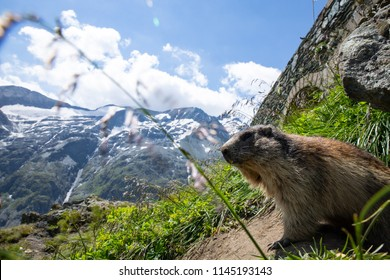 cute animal in the alps in front of a mountain. marmot, grossglockner, austria