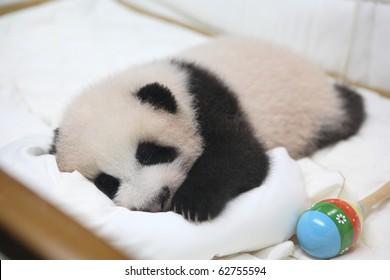 cute animal little baby giant panda in bed lhinping in chiangmai zoo Thailand