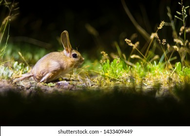 Cute animal. Williams Jerboa, Allactaga williamsi. Green nature habitat background. Kayseri Sultansazligi Turkey.
