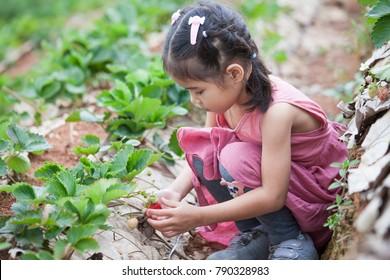 Cute asian little child girl picking fresh strawberries on organic strawberry farm