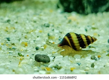 "A cute assassin snail in freshwater aquarium. Clea helena is an aquatic gastropod mollusk in the family Buccinidae. It is often known as the ""assassin snail"" for its habit of eating other snails."