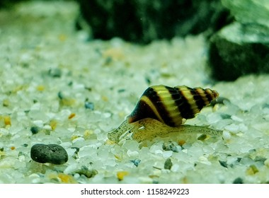 """A cute assassin snail in freshwater aquarium. Clea helena is an aquatic gastropod mollusk in the family Buccinidae. It is often known as the """"assassin snail"""" for its habit of eating other snails."""