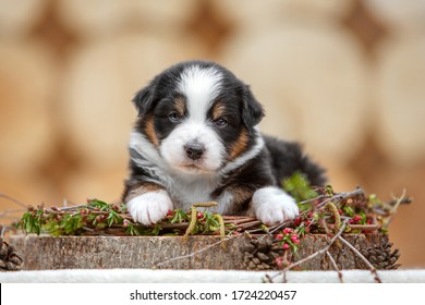 cute aussie puppy at the nature