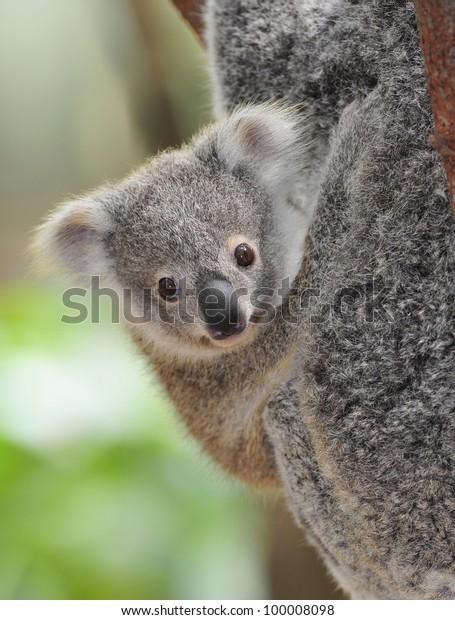 cute australian koala bear baby or joey , sydney, new south wales, australia grey bear