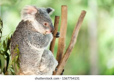 Cute Australian Koala in nature during the day