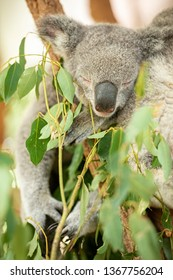 Cute Australian Koalas in nature during the day
