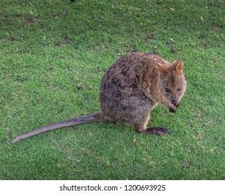 Cute Australian Quokka