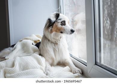 Cute Australian shepherd blue merle dog on window sill