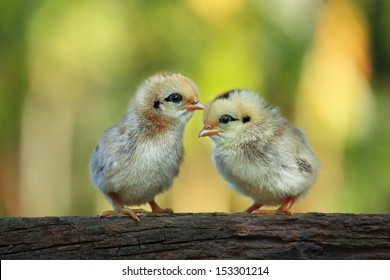 Cute babies chicks on nature background
