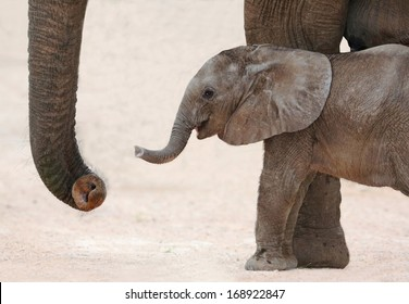 Cute baby African elephant reaching out with it's trunk to it's mother
