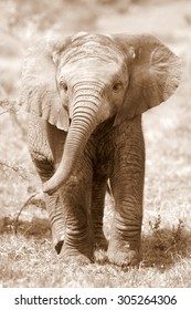 A cute baby African elephant in this sepia tone photo taken on safari in South Africa