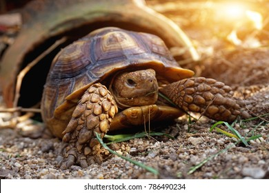 Cute Baby African spurred tortoise sunbathe and resting on sand ground with his protective shell ,Geochelone sulcata, Tortoise walking ,tortoise resting in the garden