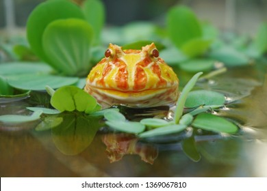 Cute baby Amazonian Horned Frog in the nature ,Fat Yellow horned frog.