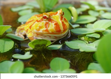 Cute baby Amazonian Horned Frog in the nature ,Fat Yellow horned frog, A pac man frog
