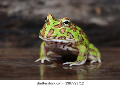 Cute baby Amazonian Horned Frog in the nature ,Fat green horned frog