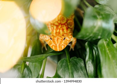 Cute baby Amazonian Horned Frog in the nature ,Fat Yellow horned frog,A pac man frog