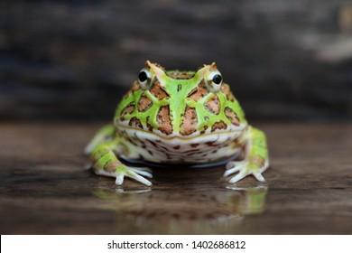 Cute baby Amazonian Horned Frog in the nature ,Fat Yellow and green horned frog