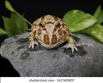 Cute baby Amazonian Horned Frog ,Fat Yellow Brown horned frog , Feed