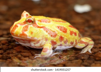Cute baby Amazonian Horned Frog in the nature ,Fat Yellow horned frog