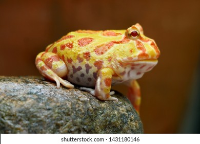 Cute baby Amazonian Horned Frog in the nature , Fat Yellow horned frog