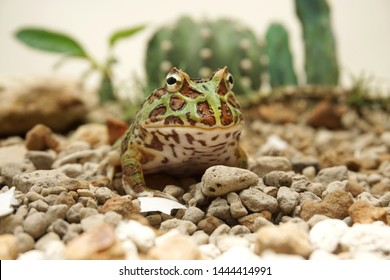 Cute baby Amazonian Horned Frog in the nature , Fat green horned frog