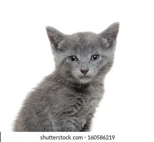 Cute baby American shorthair gray kitten on white background