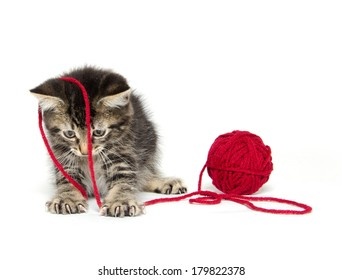 Cute baby American shorthair tabby kitten with red yarn on white background