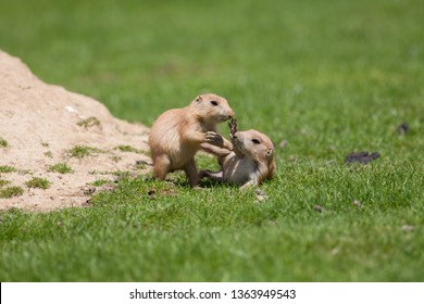 Cute baby animals playing. Marmot prairie dogs having fun together.Adorable young black-tailed prairie marmots play fighting on grass.