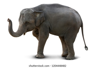 Cute baby Asian elephant isolated on white background with clipping path