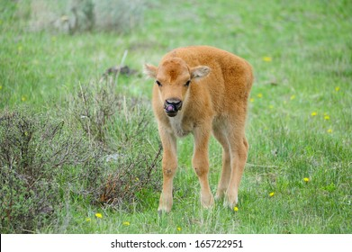 Cute Baby Bison.