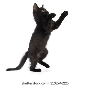 Cute baby black kitten on hind legs isolated on white background