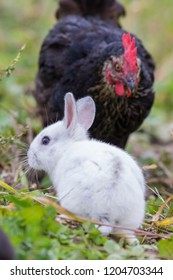 Cute baby bunny and hen