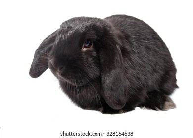 Cute baby bunny lop isolated from the background
