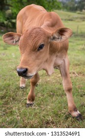 Cute baby calf with large brown eyes and ears
