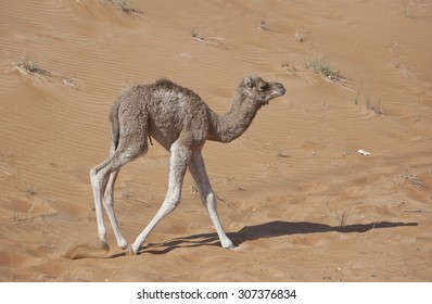 Cute baby camel, new born, taking first steps on red sand dunes in the arabian desert in the United Arab emirates near fossil rick.