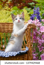 Cute baby cat kitten, white with tortoiseshell patches, with beautiful blue eyes sitting upright in a small wicker chair in a colorful flowering garden and watching curiously