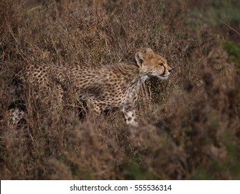Cute Baby Cheetah in Serengeti National Park, Tanzania