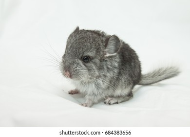 Cute baby chinchilla gray on a white background