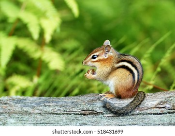 A cute baby chipmunk eating an acorn