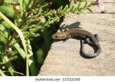 A cute baby Common Lizard (Lacerta Zootoca vivipara) the size of a small worm warming up on a wooden walkway.