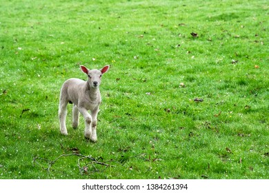 Cute baby Cotswolds Sheep, England