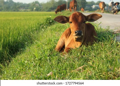 A cute baby cow in green rice field, Vietnam countryside landscape