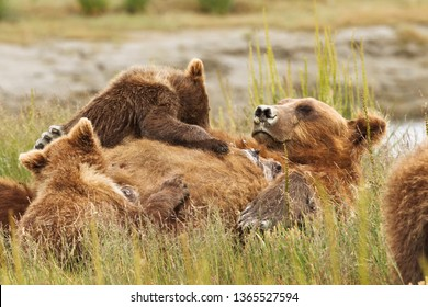 Cute baby cub bear with mother in Alaska