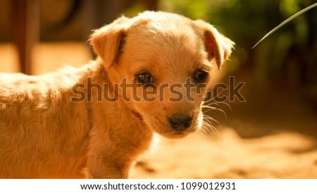 Cute Baby Dog Sri Lanka Stock Photo Edit Now 1099012931 Shutterstock