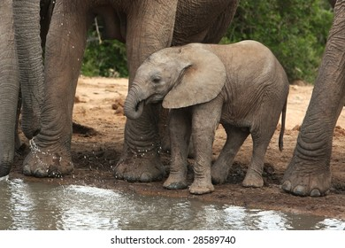Cute baby elephant drinking water at an African waterhole
