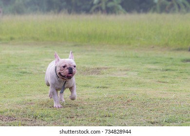 Lilac Color French Bulldog Puppy Portrait Stock Photo (Edit Now